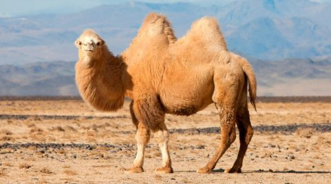 camello-animal-raro-del-desierto.jpg